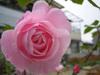 Pink Rose/ピンクのバラ(Photo/写真)