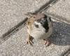 Sparrow/スズメ(Photo/写真)