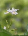Iris japonica/シャガ(Photo/写真)