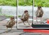 Sparrow jump (Telephoto)