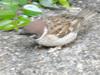 Sparrow (Telephoto)