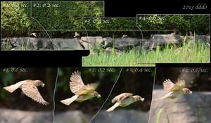 sparrow wing