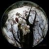 Cherry Blossoms/サクラ(魚眼写真)
