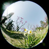 a060305narcissus0863