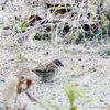 Sparrow/スズメ(Telephoto/望遠写真)