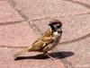 Sparrow look back/ふりむくスズメ(Telephoto/望遠写真)