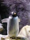 Penguin/ペンギン(Photo/写真)