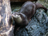 Otter/コツメカワウソ(Telephoto/望遠写真)