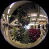 Tree and Poinsettia/ツリーとポインセチア(Fisheye Photo/魚眼写真)