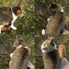 Black tiger cat/黒とらネコ(Telephoto/望遠写真)