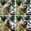 a040917sparrow141c.jpg